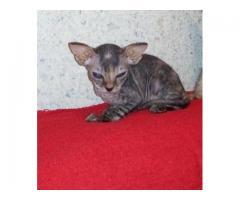 Донской сфинкс, котята